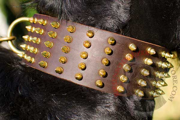 Gold-like Spikes on Stylish Riesenschnauzer Leather Collar