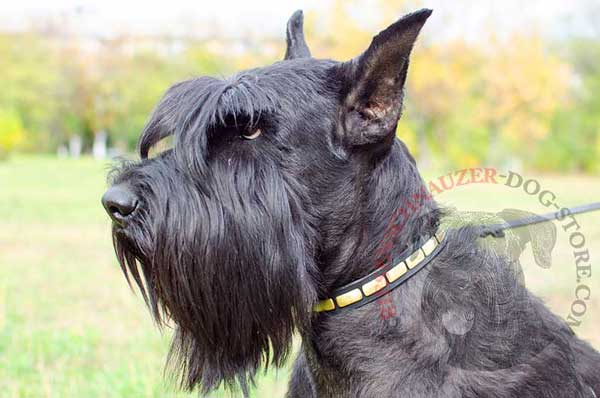 Riesenschnauzer Narrow Leather Collar Decorated with Horisontal Gold-like Plates