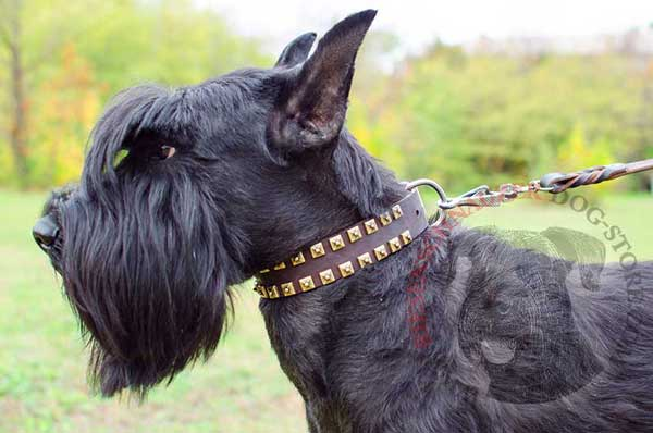 Leather Riesenschnauzer Collar Decorated with Brass Fittings for Stylish Walks