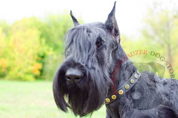 Safe Walking Riesenschnauzer Studded Leather Collar