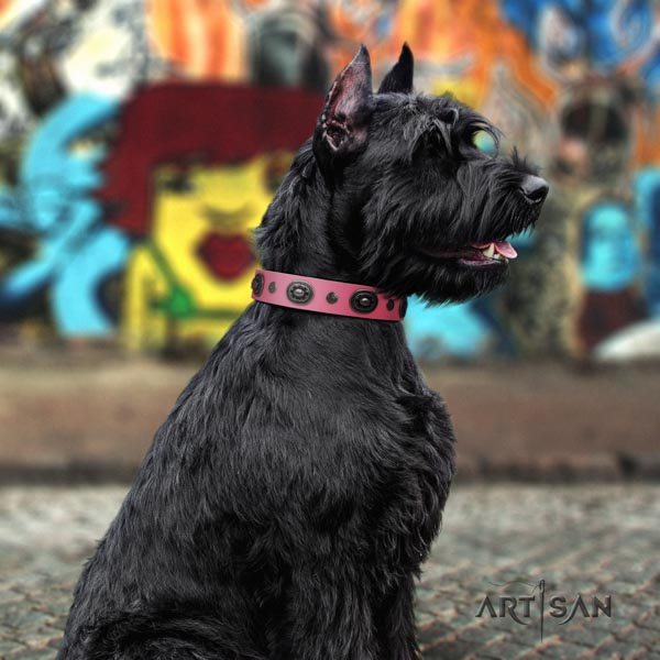 Riesenschnauzer comfy wearing full grain leather collar for your stylish dog