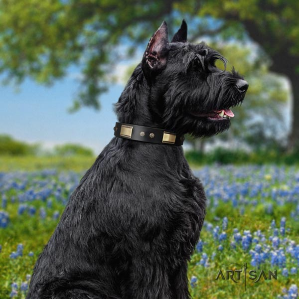 Riesenschnauzer comfy wearing leather collar with decorations for your doggie