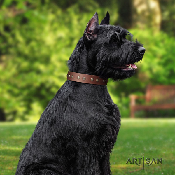 Riesenschnauzer comfy wearing full grain leather collar with embellishments for your doggie