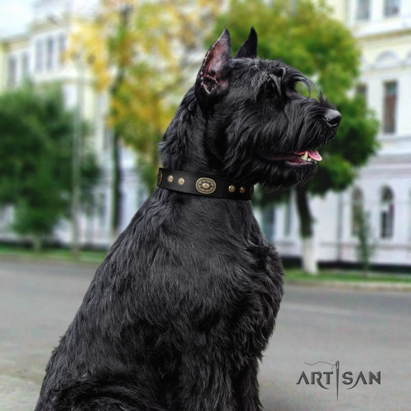 Riesenschnauzer comfortable wearing full grain natural leather collar with adornments for your canine