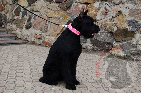 Fasionable soiked pink collar for Riesenschnauzer