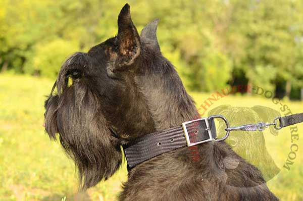Practical dog collar classic for Riesenschnauzer walking and training