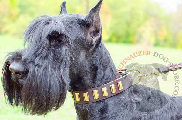 Leather dog collar adorned with brass vertical plates for Riesenschnauzer