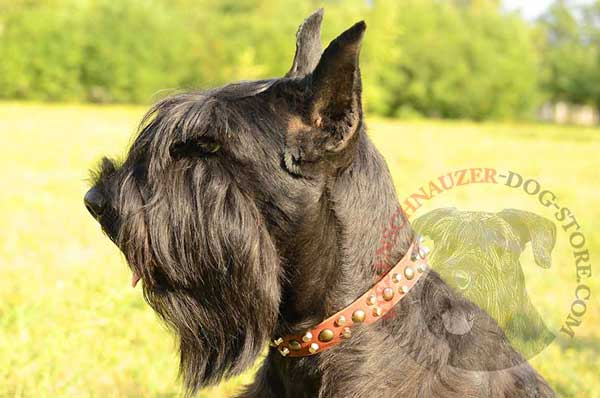 Leather dog collar with mixed studs for fashion walking Riesenschnauzer
