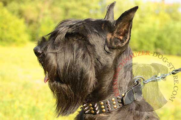 Spiked and studded leather Riesenschnauzer collar for stylish appearance