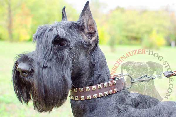 Dressy dog collar leather with 2 rows of studs for Riesenschnauzer
