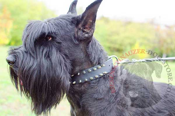 2 rows spiked dog collar leather for walking with Riesenschnauzer