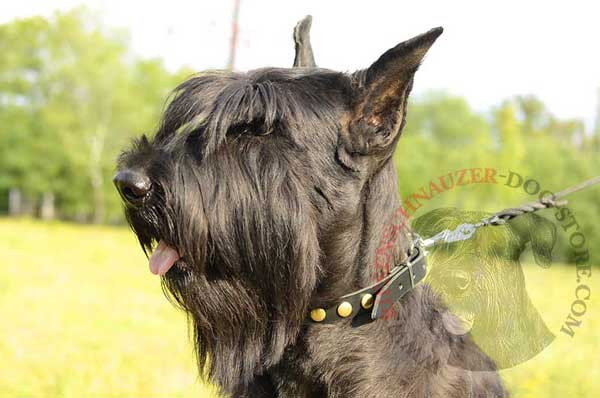 Designer dog collar leather stud decorated for Riesenschnauzer