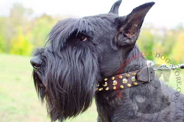 Stylish leather Riesenschnauzer collar spiked and studded for extreme beauty