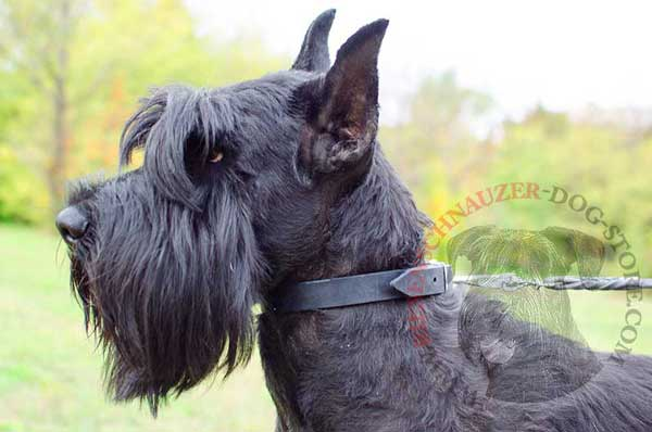 Riesenschnauzer collar leather narrow strap well-fitted with regulable buckle
