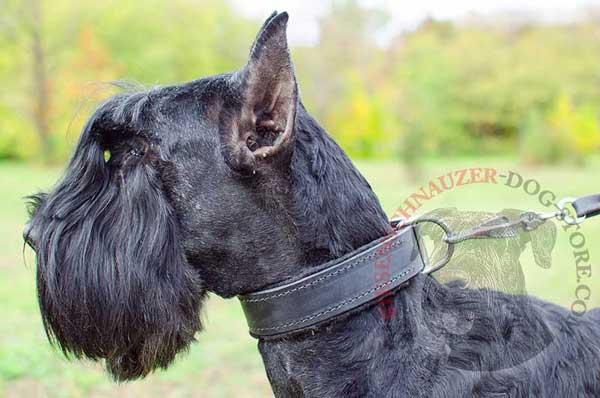 Leather Riesenschnauzer collar padded with thick soft felt for safer dog training