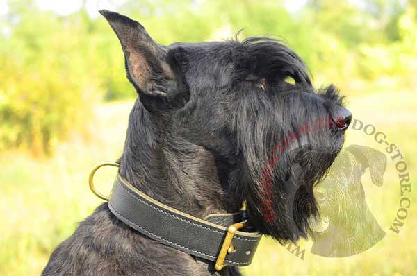Dog collar made of 2 ply leather for control over Riesenschnauzer