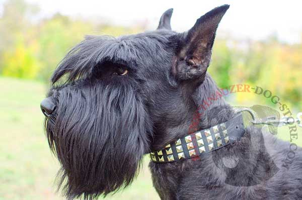 Stylish leather dog collar with pretty studs for Riesenschnauzer