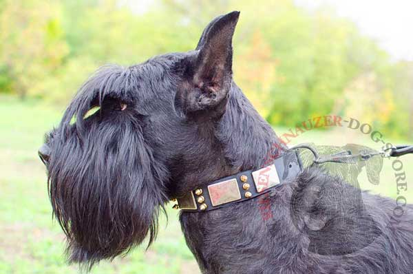 Leather dog collar with plates and spikes for Riesenschnauzer