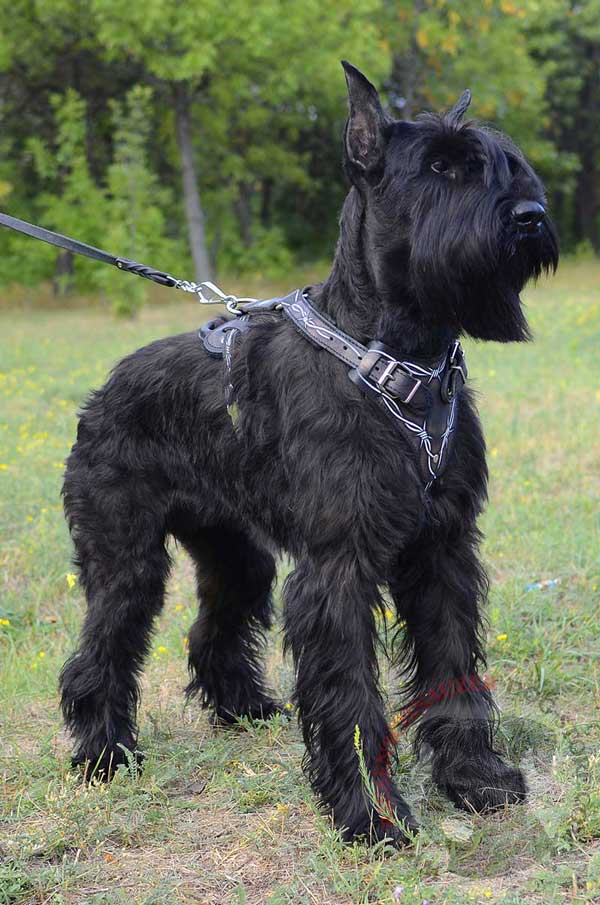 Barbed Wire Painted Leather Harness for Riesenschnauzer Protection Training