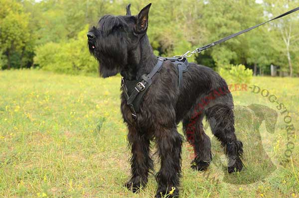 Leather Harness for Riesenschnauzer Protection Work