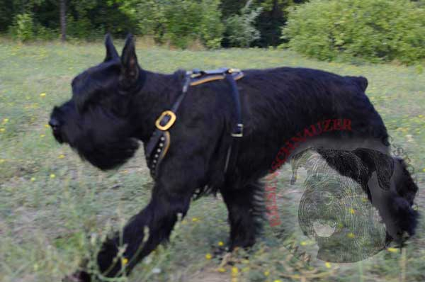 Leather Harness for Riesenschnauzer Off Leash Training