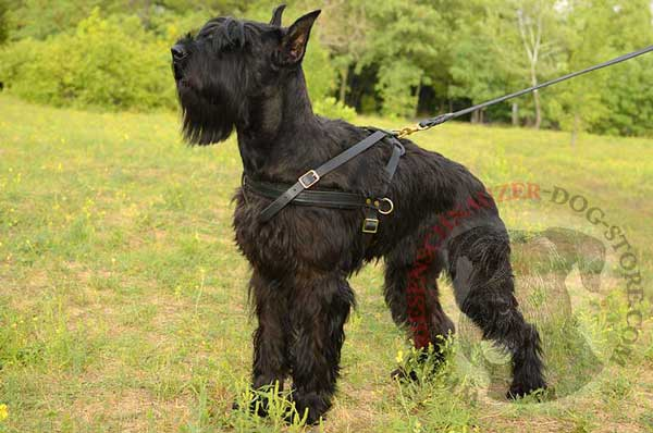 Riesenschnauzer Leather Harness with D-rings for Pulling