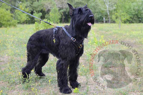 Leather Harness for Riesenschnauzer Obedience Training