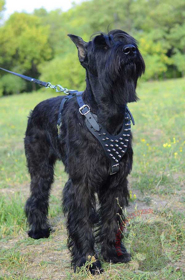 Riesenschnauzer Leather Harness Decorated with Spikes