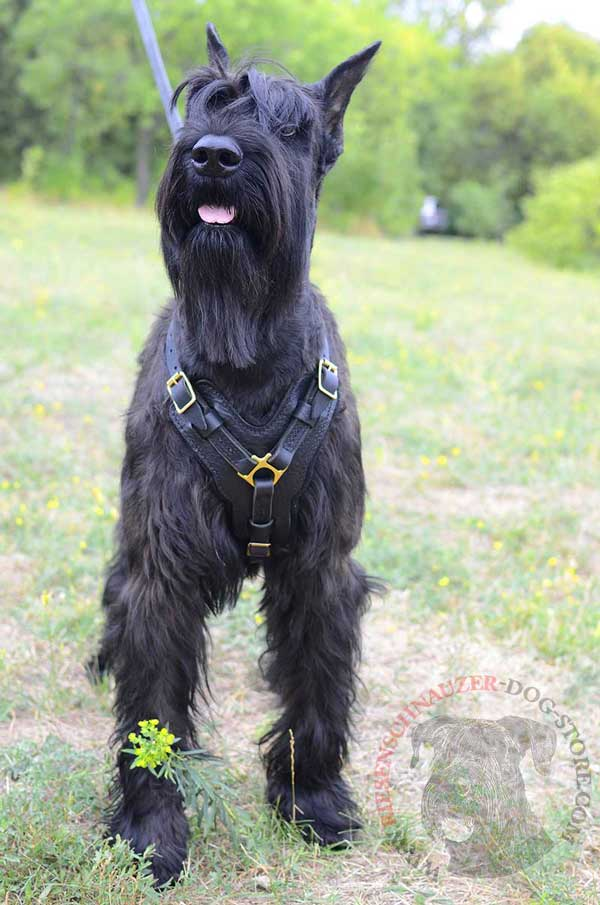 Easily Regulated Leather Harness for Riesenschnauzer