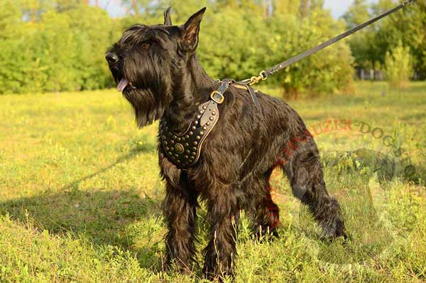 Leather Riesenschnauzer Harness Decorated with Gold-like Decoration