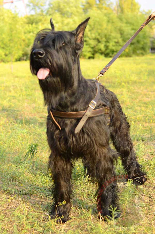 Leather Harness for Riesenschnauzer with Solid Brass Hardware