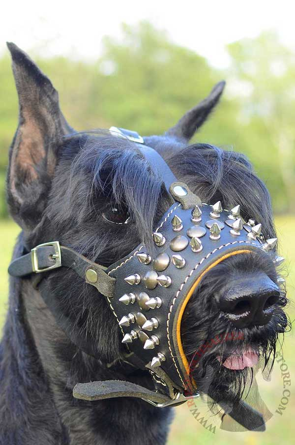 Stylish Spiked and Studded Leather Muzzle for Riesenschnauzer