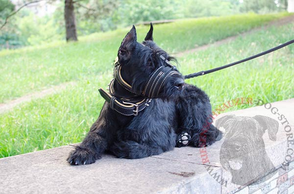 Padded leather Riesenschnauzer muzzle for regular wear