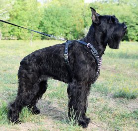 Giant Schnauzer Breed Standard